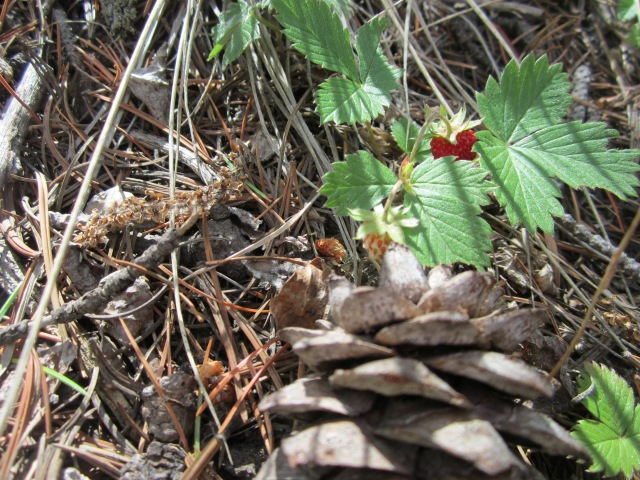 Wild strawberries look so big, but are so tiny!