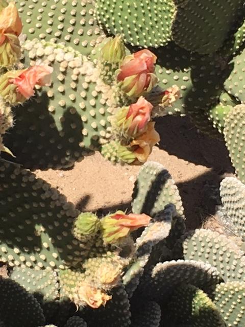 cactus peach blossom