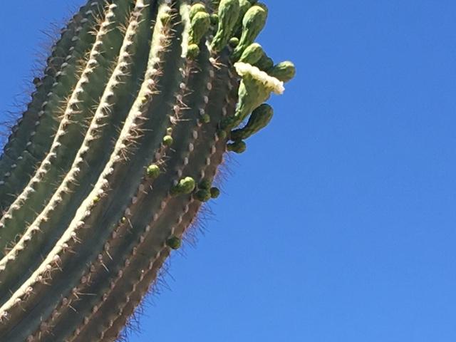 saguara blossom